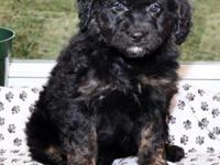 Check out this Amazing Mini Aussiedoodle puppy! This