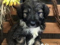I have an adorable male Aussiedoodle for sale. Mom is