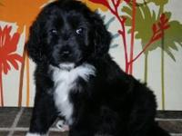 Alex, the Aussiedoodle! At 6 weeks, he weighed 4.75lbs.