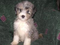 Adorable Non-Shedding F1B puppies available, 2 Standard