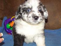 Description Beautiful F1 & F1B Miniature AussieDoodles!