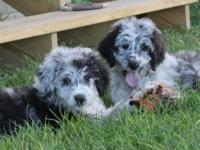 Two different litters to choose from. Lizzie and Remi