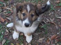 I have 3 wonderful Aussiollie puppies for sale. Mom is