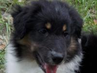 I only have 1 wonderful Aussiollie puppy left for sale.
