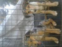 ; Australia shepherd puppies, females and males,, they