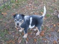 Full-blooded Male Blue Heeler Pup...(born January 8th)