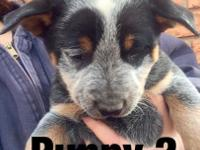 Australian Cattle Dog aka Blue Heeler Puppies for sale.