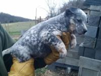 I have 5beautiful Australian Cattle Dog pups. 4 males