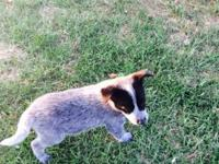 I have a Male Australian cattle dog puppy eight weeks