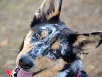 Australian Cattle Dog (Blue Heeler) - 22075 Daisy -