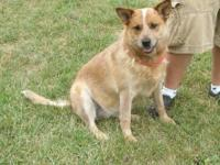 Australian Cattle Dog (Blue Heeler) - 30192 Philly -