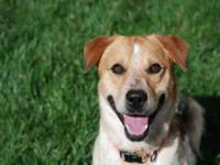 Australian Cattle Dog (Blue Heeler) - Alba - Medium -