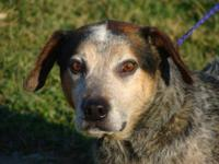 Australian Cattle Dog (Blue Heeler) Hobo was left