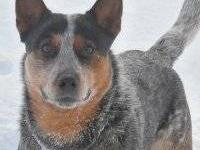 Eight blue heelers born 7/11/2012- Puppies are from
