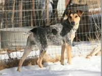 Australian Cattle Dog (Blue Heeler) Unbelievably, this