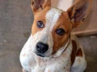Australian Cattle Dog (Blue Heeler) Intake Date: