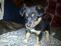 Australian Cattle Dog (Blue Heeler) Adoption Events: