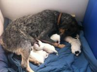 Hello there our Sydney (blue heeler) had 7 puppies