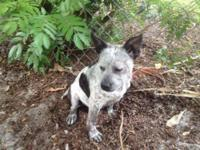 Australian Cattle Dog (Blue Heeler) - Armani - Medium -