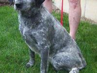 Australian Cattle Dog (Blue Heeler) - Astilbe - Medium