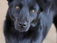 Australian Cattle Dog (Blue Heeler) - Avon - Medium -