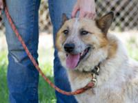 Australian Cattle Dog (Blue Heeler) - Bandit - Medium -