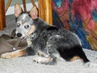 Australian Cattle Dog (Blue Heeler) - Baron (allen