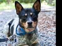 Australian Cattle Dog (Blue Heeler) - Belle - Medium -
