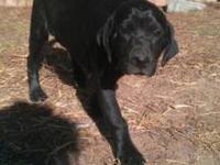 Australian Cattle Dog (Blue Heeler) - Ben - Medium -