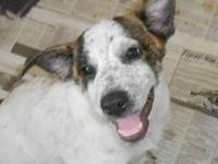 Australian Cattle Dog (Blue Heeler) - Bert - Medium -