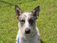 Australian Cattle Dog (Blue Heeler) - Blue - Medium -