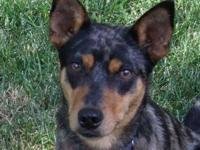 Australian Cattle Dog (Blue Heeler) - Bolt - Medium -