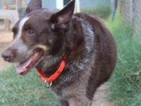 Australian Cattle Dog (Blue Heeler) - Bonanza - Large -