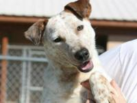 Australian Cattle Dog (Blue Heeler) - Bonnie- - Medium