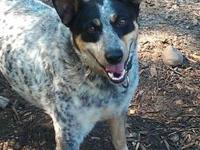 Australian Cattle Dog (Blue Heeler) - Brick (returns) -