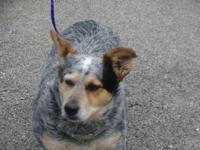 Australian Cattle Dog (Blue Heeler) - Butch-lost!! -