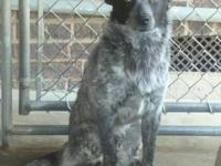 Australian Cattle Dog (Blue Heeler) - Catchem - Medium