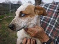 Australian Cattle Dog (Blue Heeler) - Chance - Small -