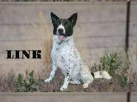 Australian Cattle Dog (Blue Heeler) - Clover - Large -