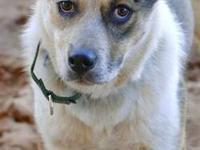 Australian Cattle Dog (Blue Heeler) - Colly Bird -