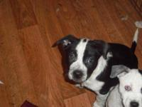 Australian Cattle Dog (Blue Heeler) - Columbus - Large