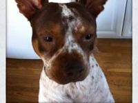 Australian Cattle Dog (Blue Heeler) - Cooper - Medium -