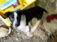 Australian Cattle Dog (Blue Heeler) - Cowboy - Medium -