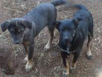 Australian Cattle Dog (Blue Heeler) - Cyrus - Large -