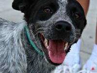 Australian Cattle Dog (Blue Heeler) - Danielle - Medium