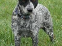Australian Cattle Dog (Blue Heeler) - Dee - Medium -