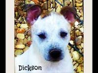 Australian Cattle Dog (Blue Heeler) - Dickson - Medium