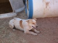 Australian Cattle Dog (Blue Heeler) - Doodle - Medium -