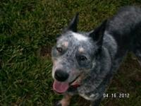 Australian Cattle Dog (Blue Heeler) - Dorie - Medium -