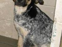 Australian Cattle Dog (Blue Heeler) - Dory - Large -